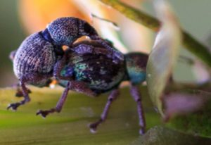 Weevils engaged in mating activity.