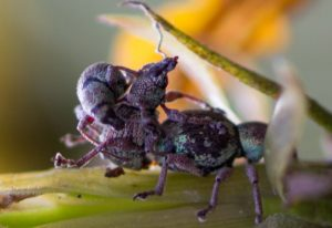 Mating Competition among Weevils