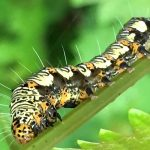 Eight Spotted Forrester Caterpillar