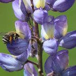 Solitary Bee shares Lupine with Snakefly