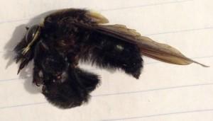 Belzebul Bee-Eater