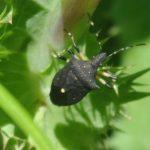 Black Stink Bug