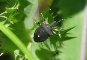 Black Stink Bug