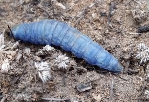 Unknown Blue Caterpillar