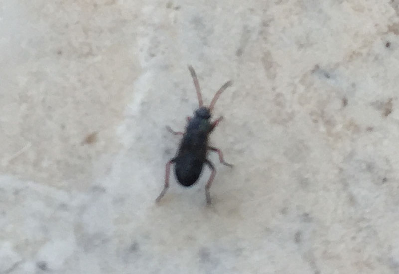 Mediterranean Seed Bugs we believe - What's That Bug?