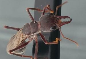 Bulldog Ant Alate