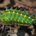 Slug Moth Caterpillar, we believe