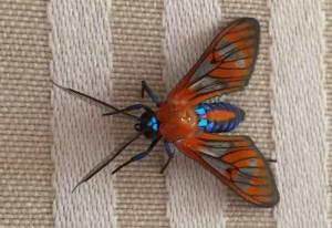 Tiger Moth:  Cosmosoma species