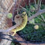 Death's Head Hawkmoth Caterpillar