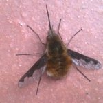 Greater Bee Fly