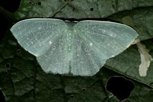 Geometer Moth