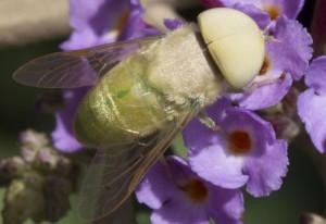 Male Horse Fly:  Chlorotabanus crepuscularis