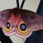 Female Io Moth