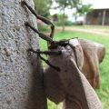 Lobobunaea angasana