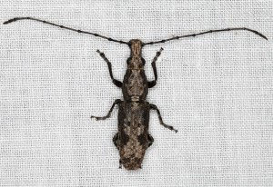Unidentified Longhorned Weevil