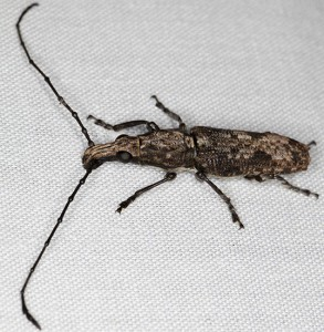 Weevil or Longicorn???