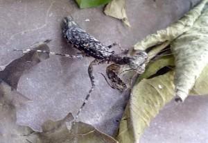 Possibly Indian Bark Mantis