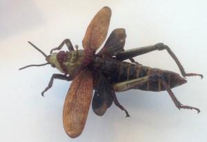 Toxic Milkweed Locust