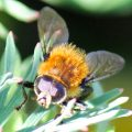 Narcissus Bulb Fly