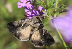 Possibly Owlet Moth