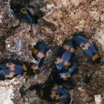 Pleasing Fungus Beetles
