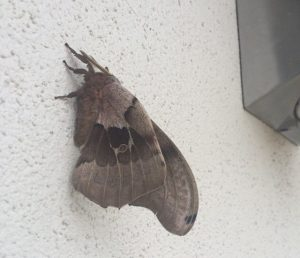 Giant Silk Moths Archives Page 8 Of 124 What 39 S That Bug