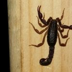 Scorpion, in Tennessee???