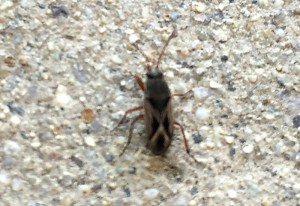 Mediterranean Seed Bug, we believe