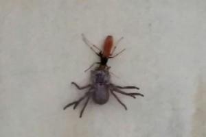 Spider Wasp and Huntsman Spider