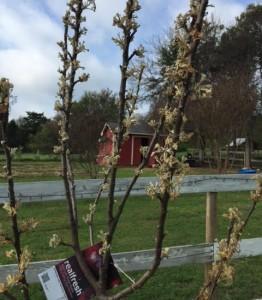 Newly Planted Apple Tree, we presume.