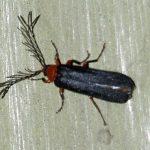 Male Western Banded Glowworm