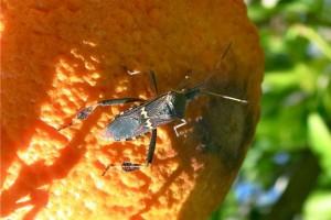 Western Leaf Footed Bug