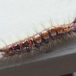 Probably Western Tussock Moth Caterpillar