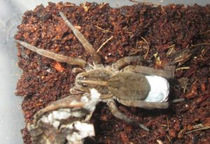 Wolf Spider with Egg Sac