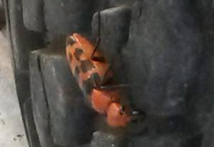 Blister Beetle:  Cissites auriculata