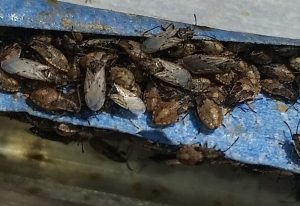 Possibly Dirt Colored Seed Bugs