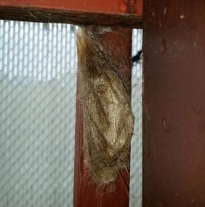 Cecropia Moth Cocoon