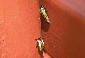 Cottonwood Leaf Beetle Larvae