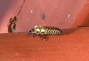 Cottonwood Leaf Beetle Larva