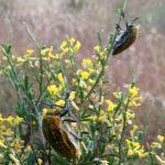 Ehrenbergi's Jewel Beetles