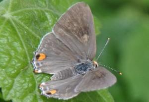 Female Gray Hairstreak