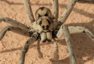 Wolf Spider:  Hogna coloradensis we believe