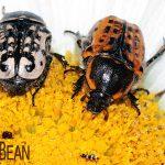 Kern's Flower Scarabs