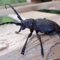 Weaver Beetle