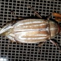 LIned June Beetle