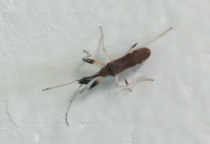 Long Necked Seed Bug