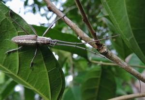 San Jose Succotz - Unidentified Longhorn Beetle