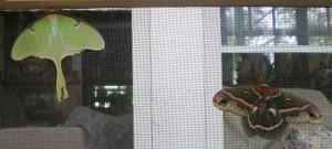 Luna Moth and Cecropia Moth