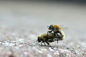 Mating Narcissus Bulb Flies