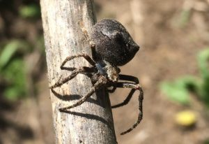 Possibly Cat-Faced Spider
